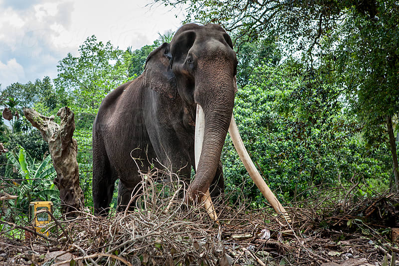 Sri Lanka Asian elephant by Jino Lee for Stocksy United