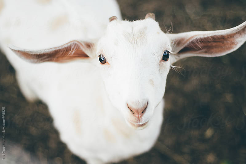 Baby goat looking up at camera by Tari Gunstone for Stocksy United
