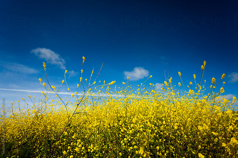 Mustard Flower Field  by Michael Shainblum for Stocksy United