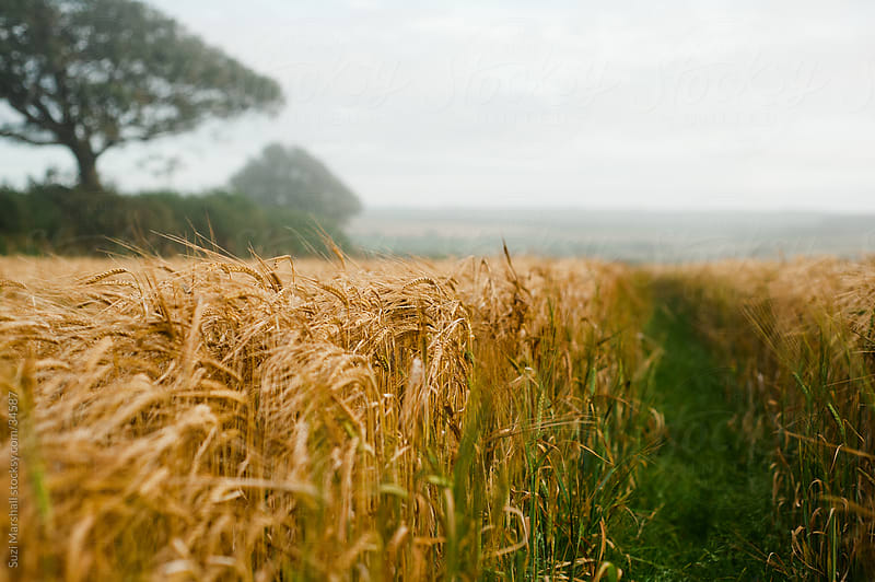 Pathway through a field of barley  by Suzi Marshall for Stocksy United