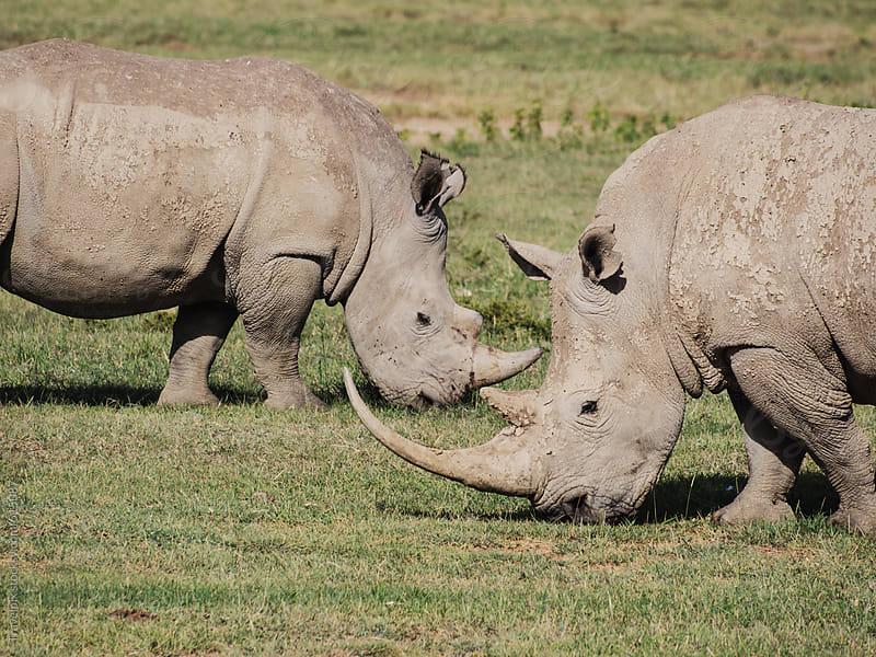 Two White Rhinos. Kenya by Travelpix for Stocksy United