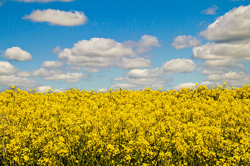 Yellow oilseed and blue sky with clouds by Kirsty Begg for Stocksy United