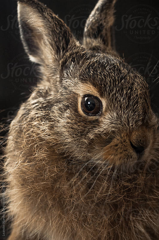 portrait of a young hare by Leander Nardin for Stocksy United