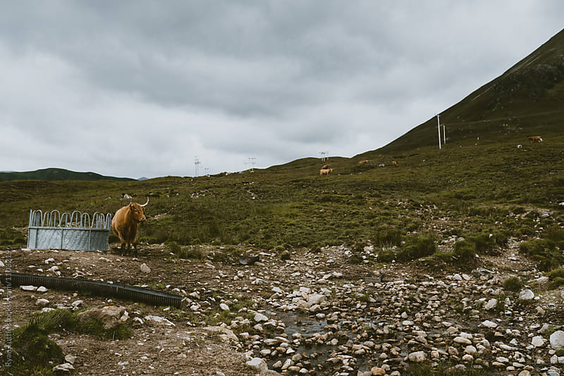 Scotland Cows by Ryan Tuttle for Stocksy United