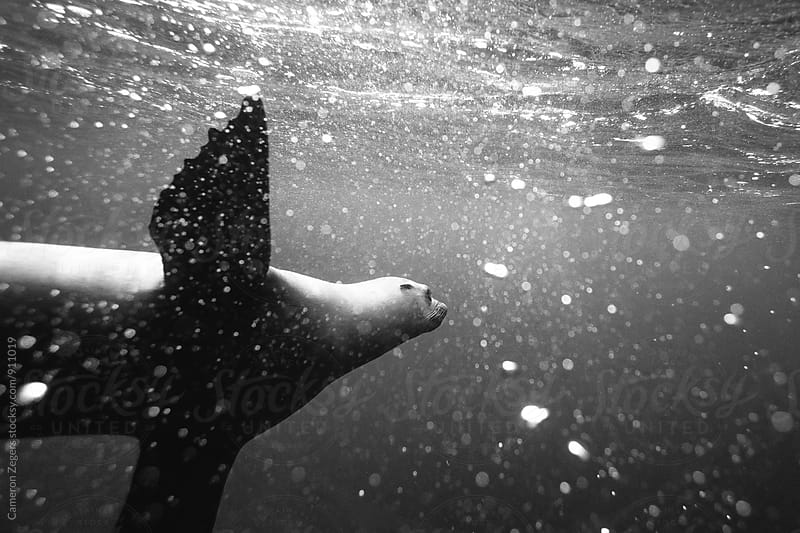 sea lion underwater by Cameron Zegers for Stocksy United