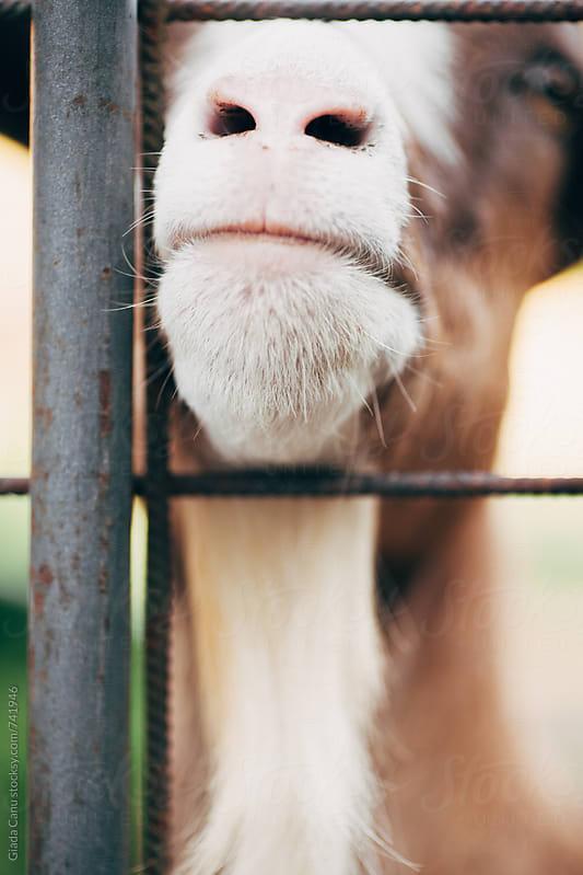 Goats by Giada Canu for Stocksy United