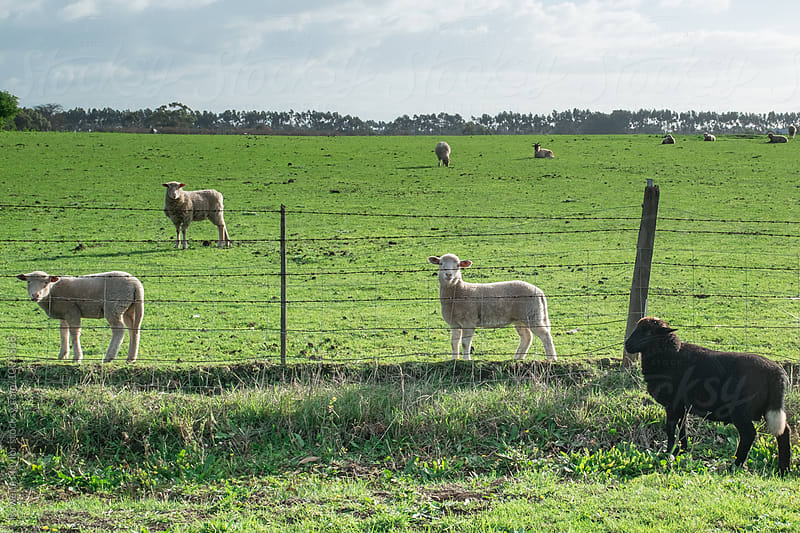 Black sheep escapes to the other side of the fence by Rowena Naylor for Stocksy United