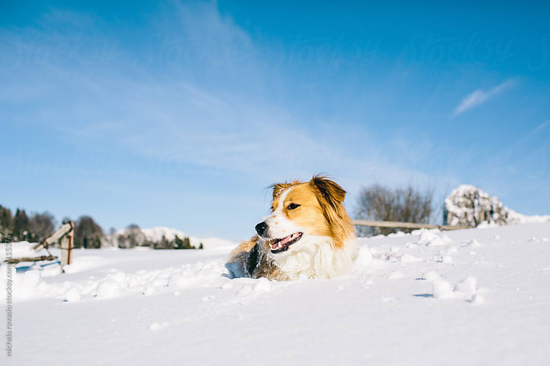 Dog playing in the snow by michela ravasio for Stocksy United