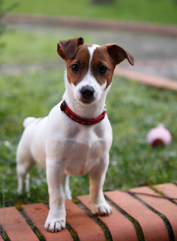 Jack Russell Terrier by Marilar Irastorza for Stocksy United