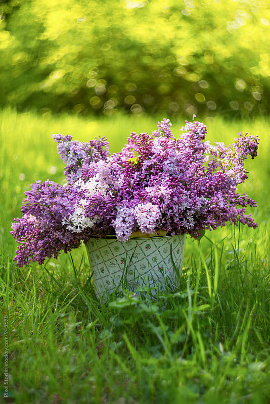 Bucket full of freshly picked lilac by Pixel Stories for Stocksy United