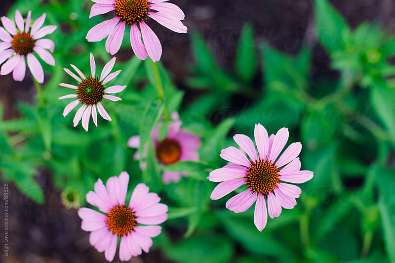 Pink & Purple Coneflower  by Leigh Love for Stocksy United