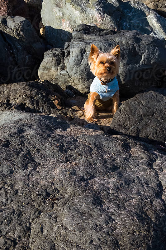 A small Yorkshire terrier sitting in big rocks at the beach. by J Danielle Wehunt for Stocksy United