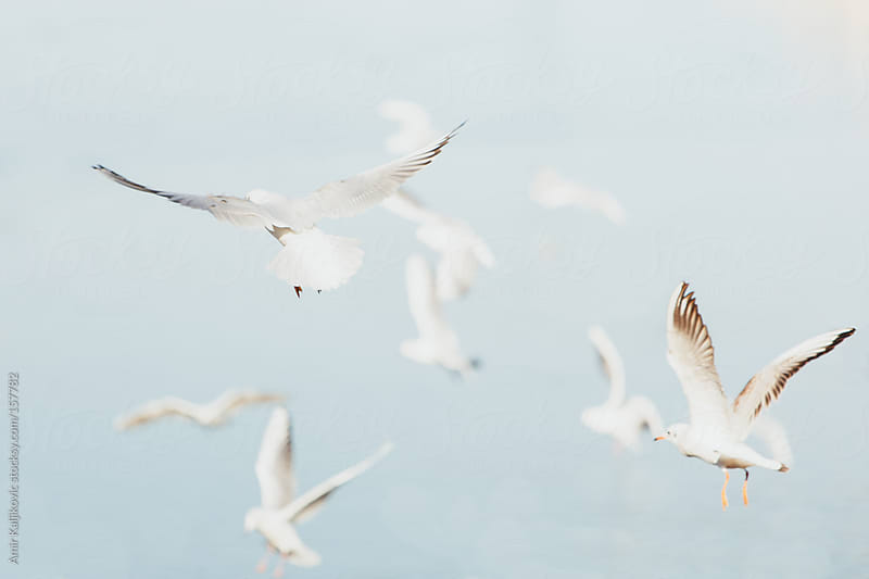 Flock of seagulls flying midair by Amir Kaljikovic for Stocksy United