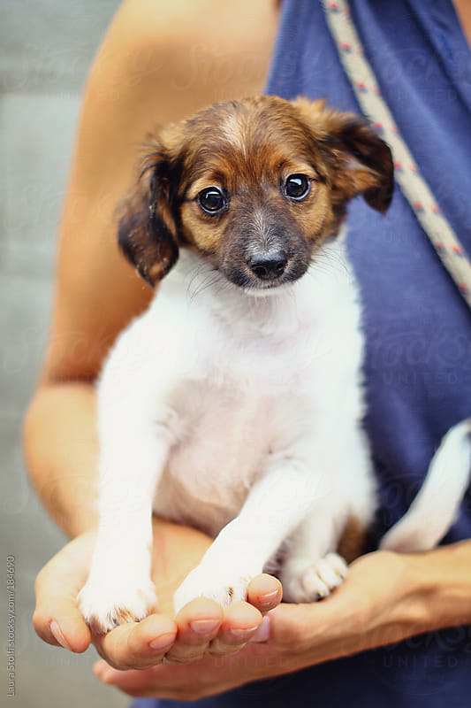 Little puppy sitting in woman's hand and looking straight at the camera by Laura Stolfi for Stocksy United