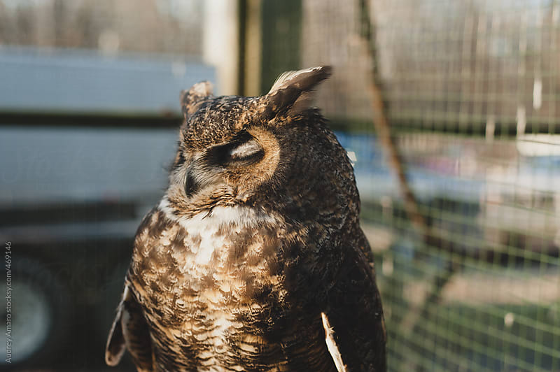 Great horned owl sitting in the sun by Audrey Amaro for Stocksy United