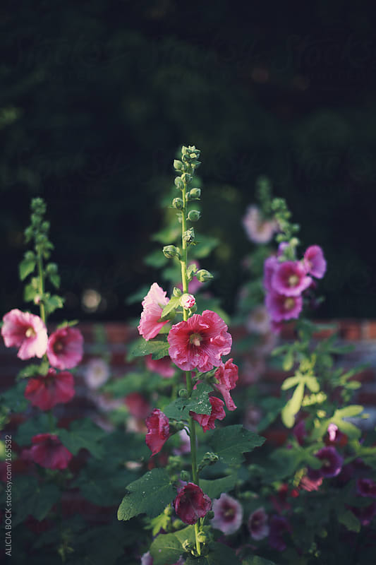 Hollyhocks by ALICIA BOCK for Stocksy United