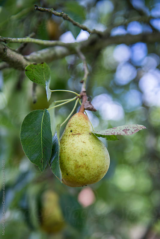 Pear hanging on a branch by Marta Muñoz-Calero Calderon for Stocksy United