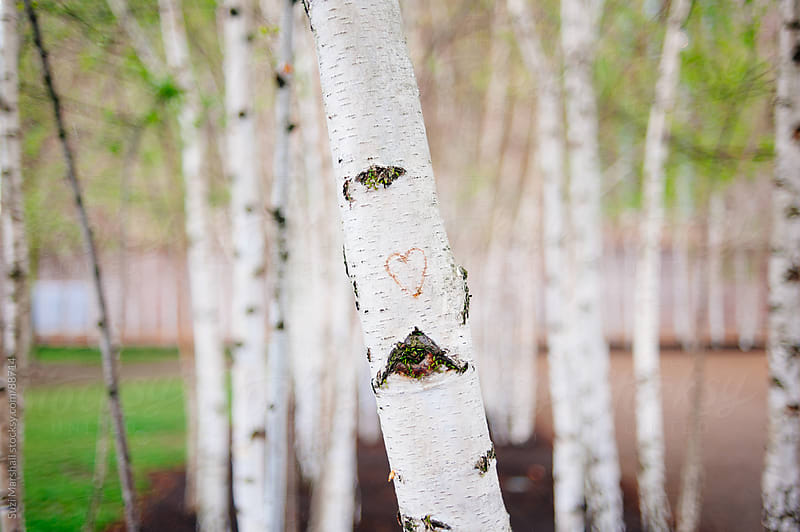 Red heart carved into the trunk of a silver birch tree by Suzi Marshall for Stocksy United