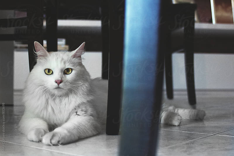 A beautiful white cat resting and looking at the camera by Silvia Cipriani for Stocksy United