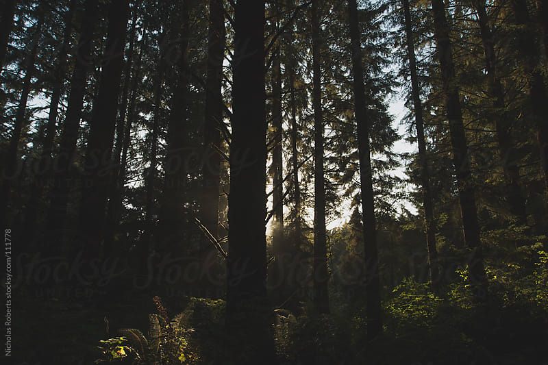Redwoods by Nicholas Roberts for Stocksy United