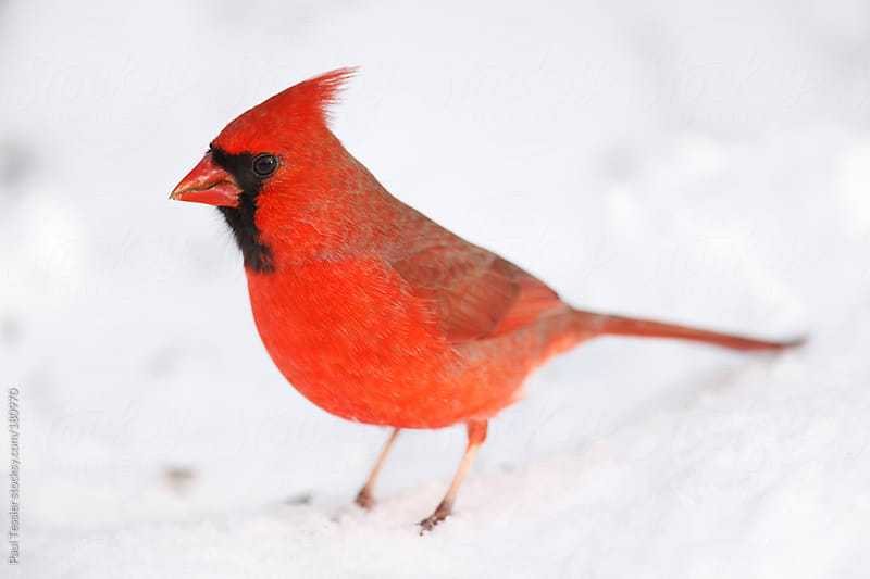 Cardinal on Snow by Paul Tessier for Stocksy United