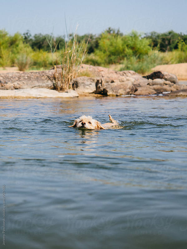 Puppy dog swimming across river, head above water by Jeremy Pawlowski for Stocksy United