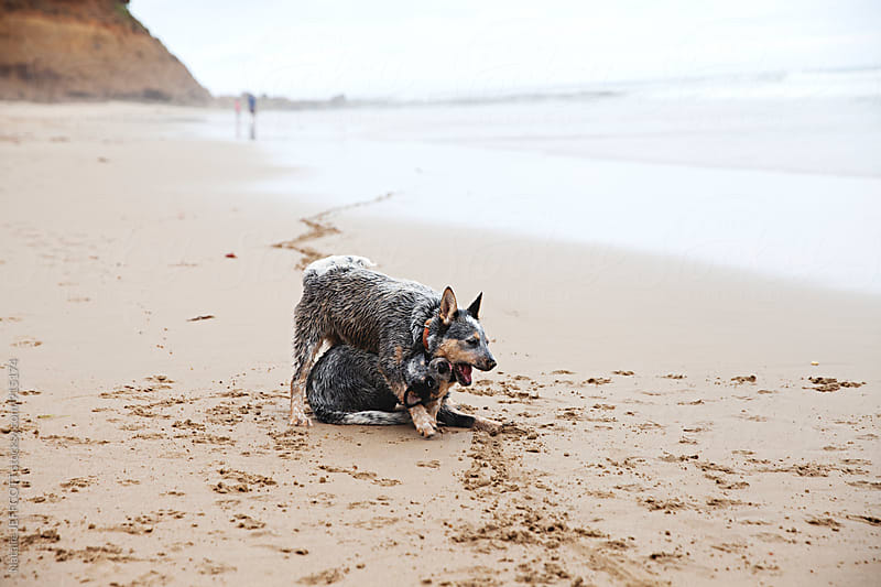 Two Blue Heeler / Australian Cattle dog puppies playing on the beach by Natalie JEFFCOTT for Stocksy United