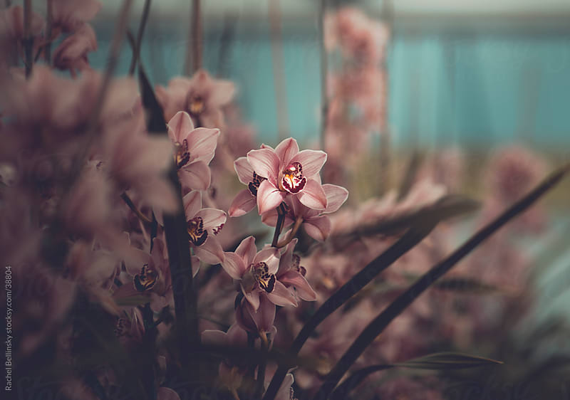 Orchids in muted pink tones by Rachel Bellinsky for Stocksy United