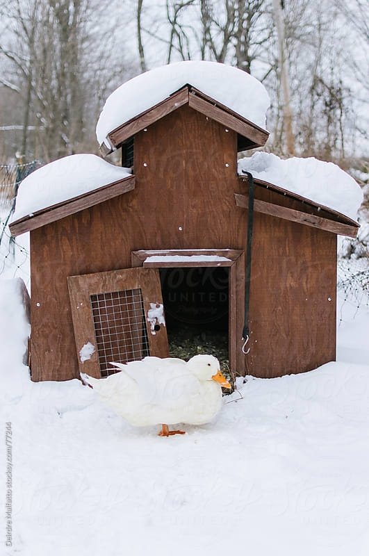 a white duck, her house, and a lot of snow by Deirdre Malfatto for Stocksy United