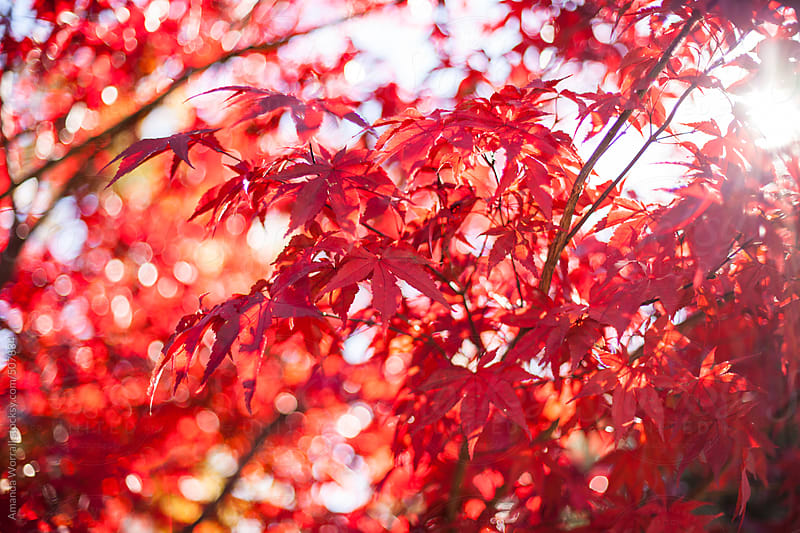 Horizontal close up shot of red maple tree in fall by Amanda Worrall for Stocksy United