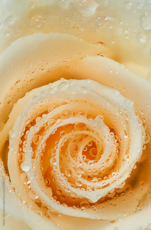 Raindrops and Rose, closeup by Mark Windom for Stocksy United