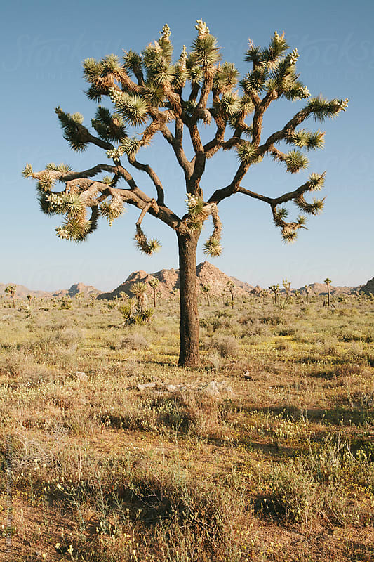 Joshua trees and spring wildflowers in the Mojave desert, dawn, Joshua Tree NP, CA, USA by Paul Edmondson for Stocksy United