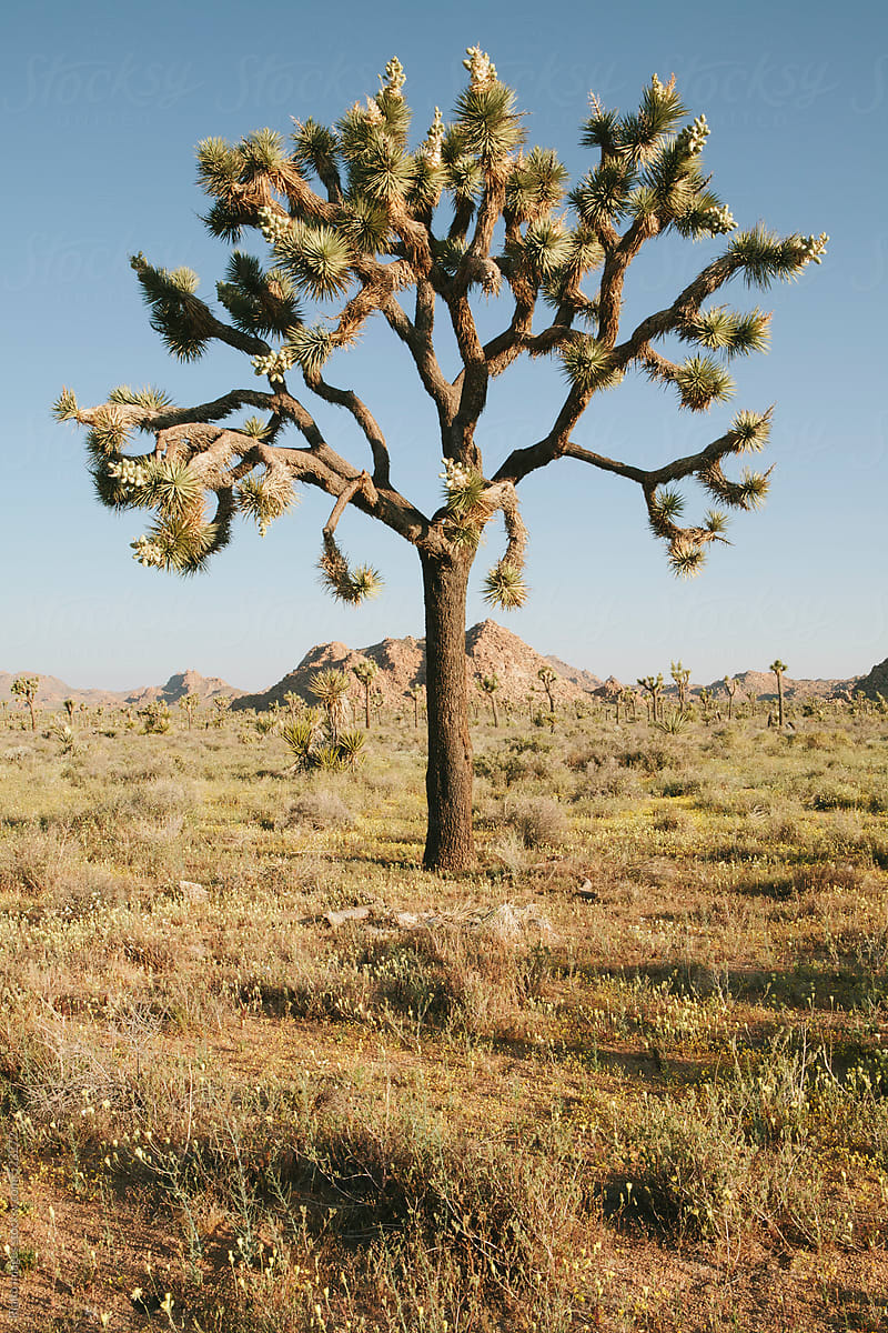 Joshua Trees And Spring Wildflowers In The Mojave Desert Dawn