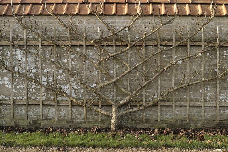 Fruit tree trained in beautiful shape by Marcel for Stocksy United
