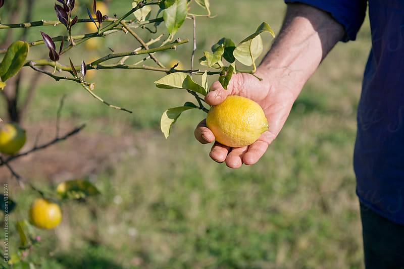organic lemon farm by Gillian Vann for Stocksy United