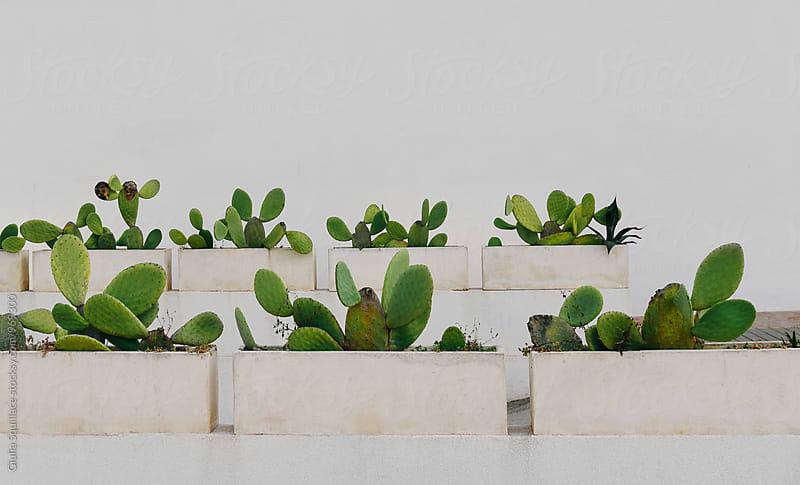 Cactus plants on white background by Giulia Squillace for Stocksy United
