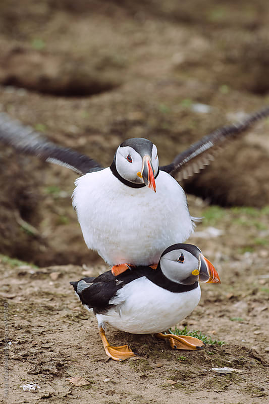 A pair of mating Arctic Puffins by Helen Rushbrook for Stocksy United