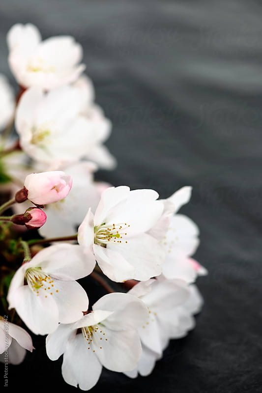 Japanese cherry blossom by Ina Peters for Stocksy United