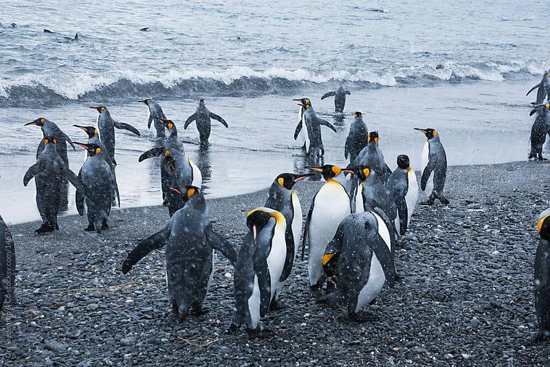 King Penguin by Urs Siedentop & Co for Stocksy United
