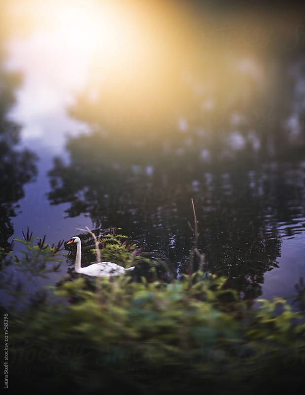 Swan swimming in a river in the sunlight by Laura Stolfi for Stocksy United