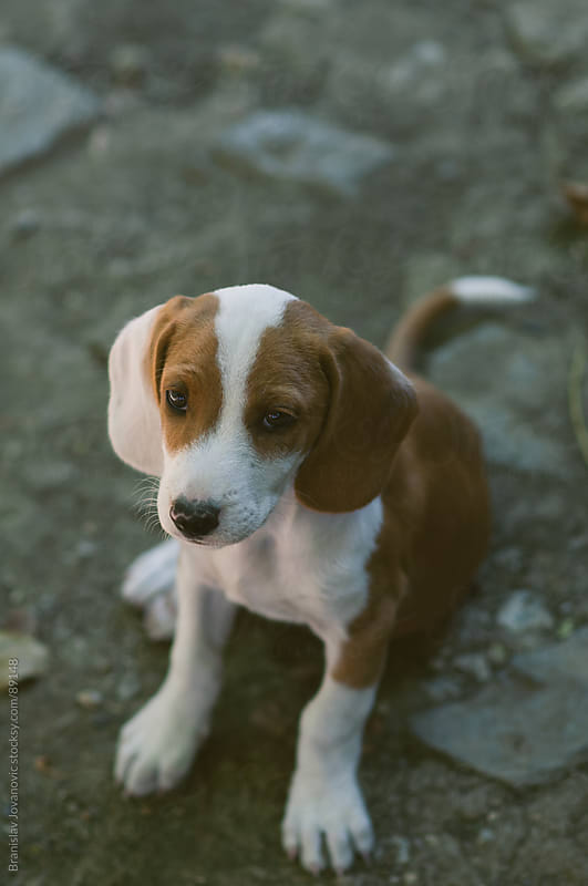Cute Little Puppy by Brkati Krokodil for Stocksy United