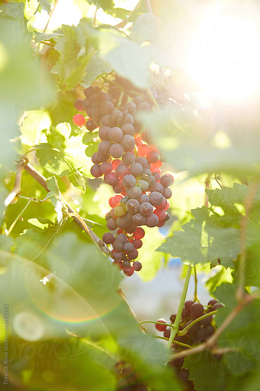 Close-up of grapes in California by Trinette Reed for Stocksy United