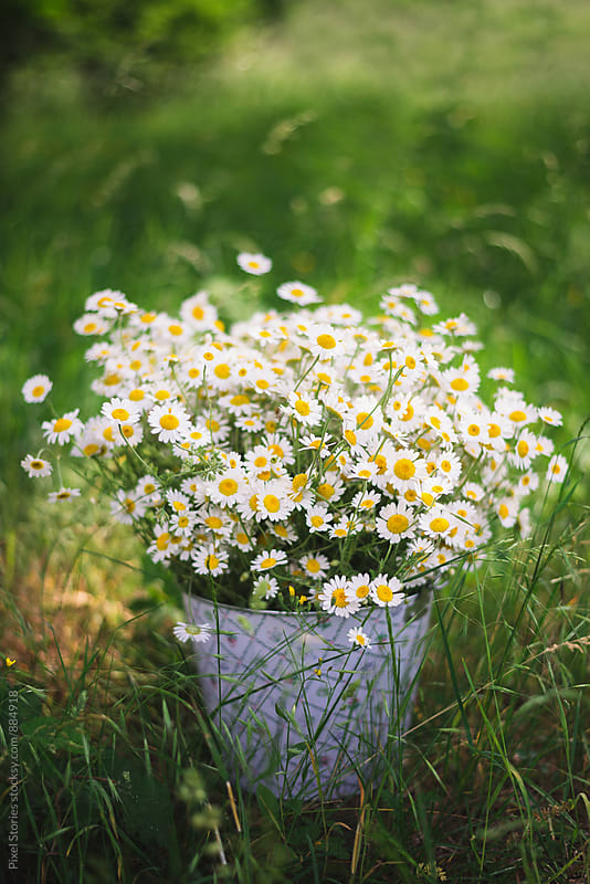 Freshly picked chamomile in bucket by Pixel Stories for Stocksy United