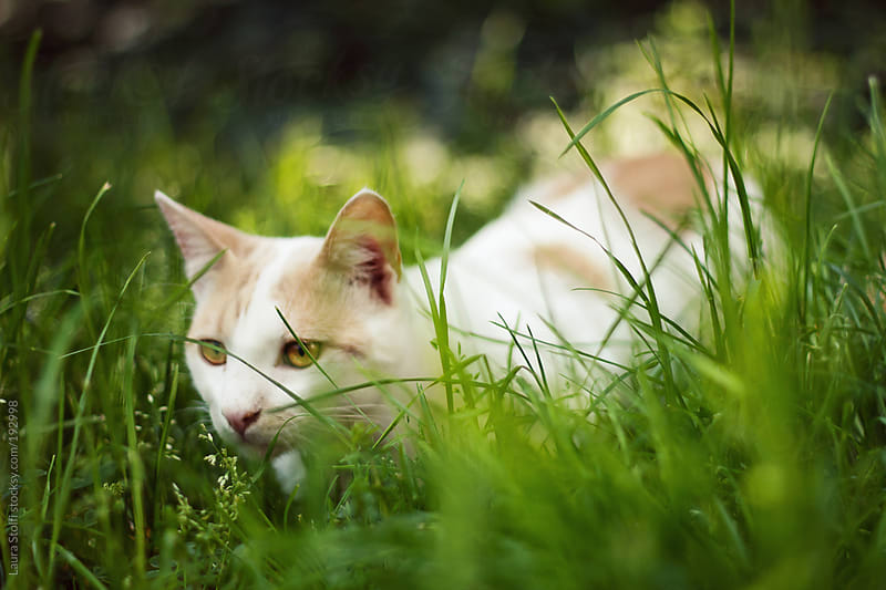 White and red cat hiding in the grass with fix eye in garden by Laura Stolfi for Stocksy United