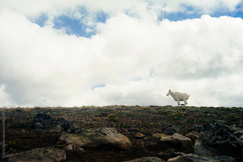 Running Mountain Goat by Caitlin Strom for Stocksy United