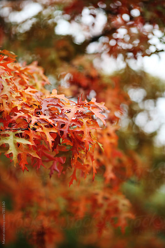 Oak leaves on a tree, turning red and orange in october by Marcel for Stocksy United