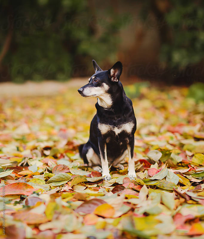Crossbredd dog sit on yellow fallen leaves carpet and looks away by Laura Stolfi for Stocksy United
