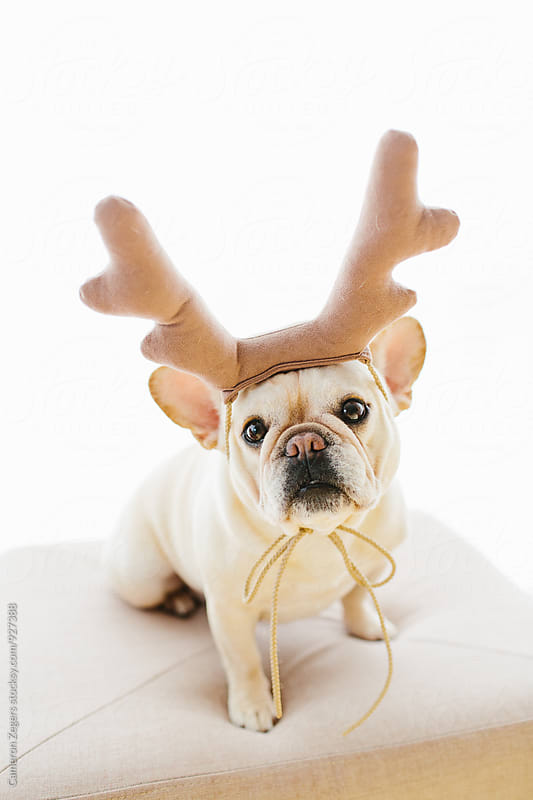 french bulldog wearing stuffed antlers by Cameron Zegers for Stocksy United