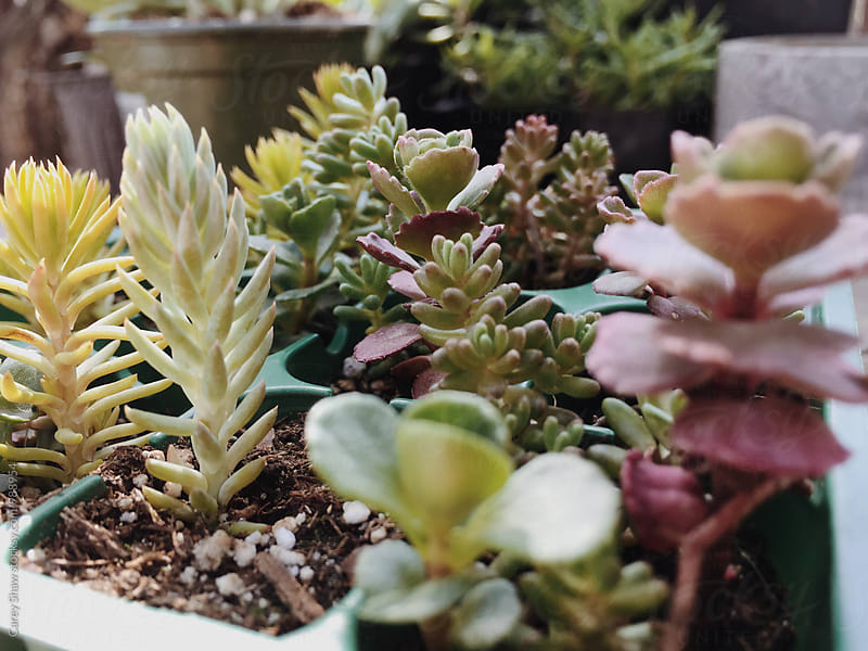 Mixed potted plants and succulents by Carey Shaw for Stocksy United