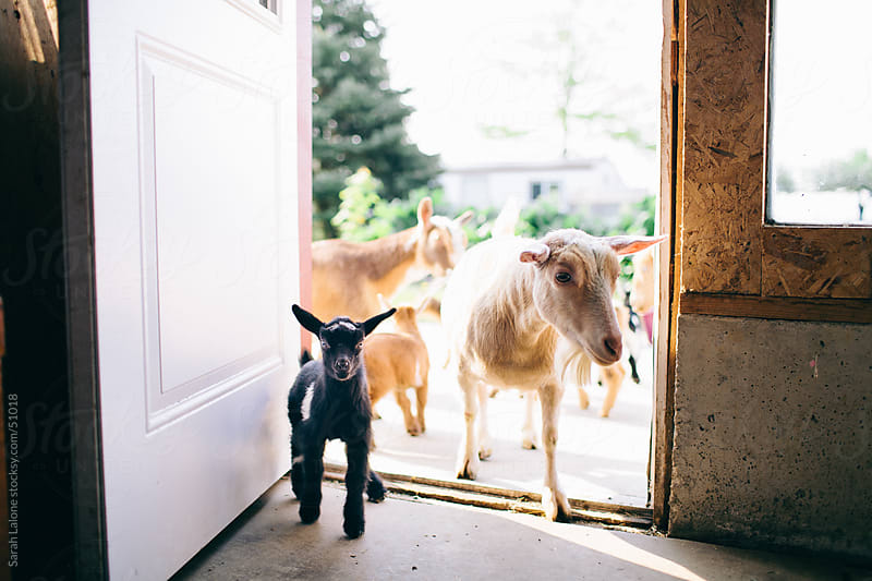 Nigerian dwarf goats and kids in a doorway. by Sarah Lalone for Stocksy United